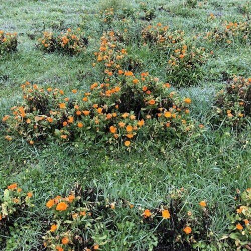 Ringelblumen oder auch bekannt als Calendula.